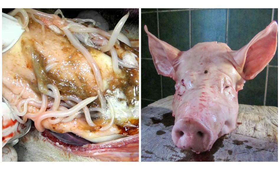 Voici ce qui se passe à l'intérieur de votre corps quand vous mangez du porc … et Pourquoi vous devriez éviter cette Viande !